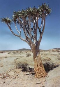 A tree in Namibia