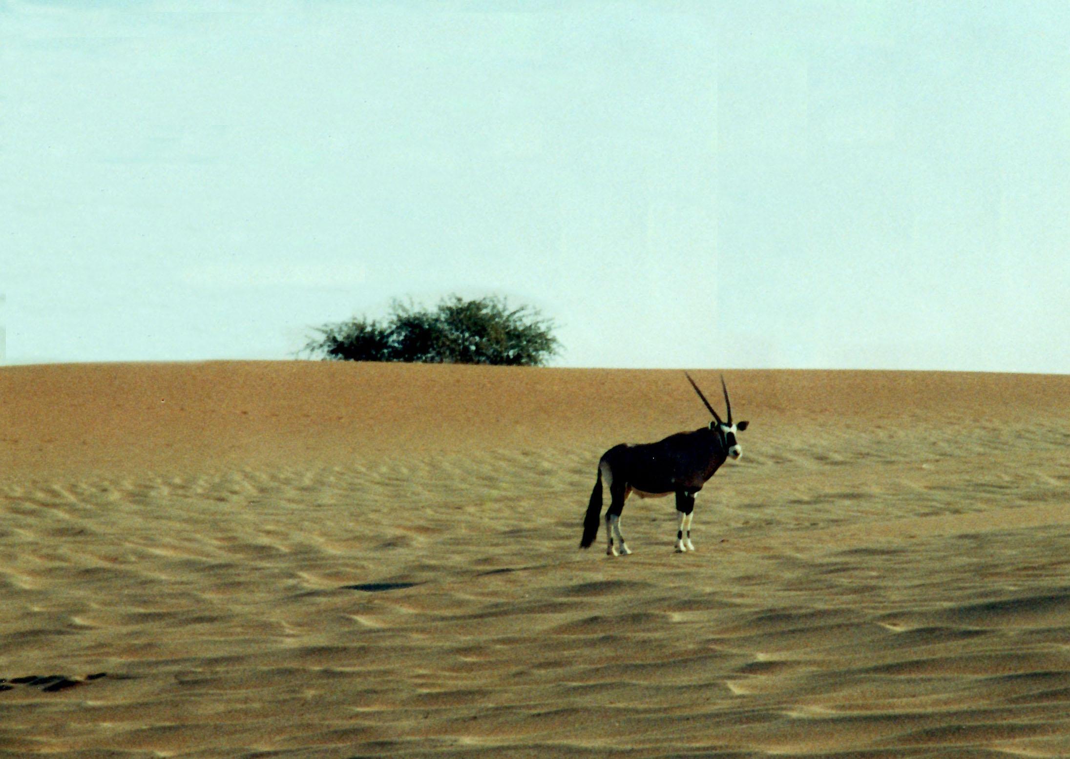 Antelope at Sossusvlei, Namibia