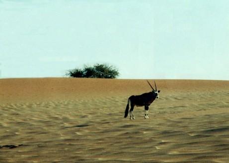 Oryx near Sossusvlei, Namibia