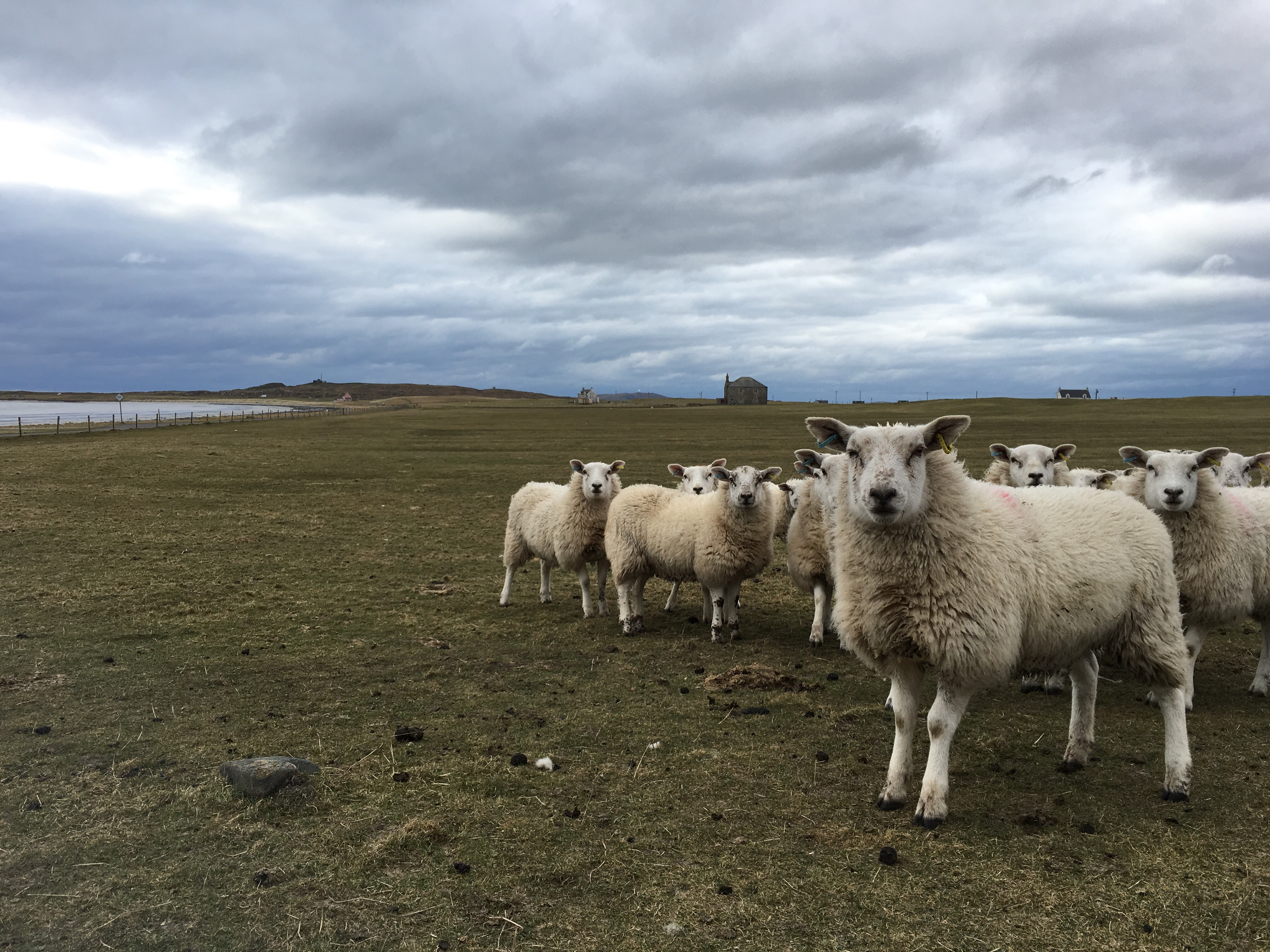 Sheep on Isle of Tiree