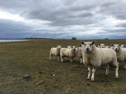 Sheep on Isle of Tiree